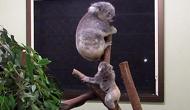 Koala Joey is runited with Mum in Koala Care Centre