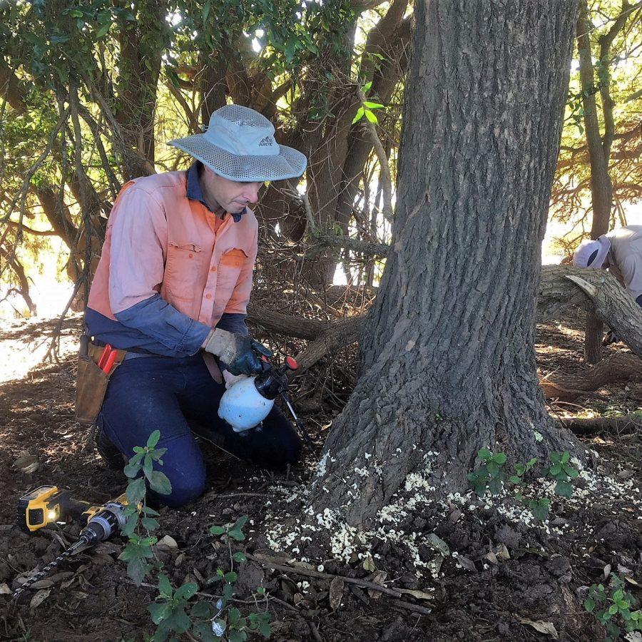 Restoring koala habitat on 'Koala Island' at Monaltrie