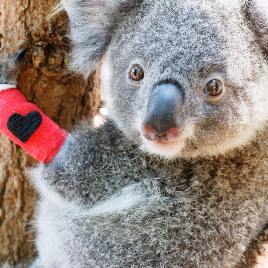 Building a Future for Koalas