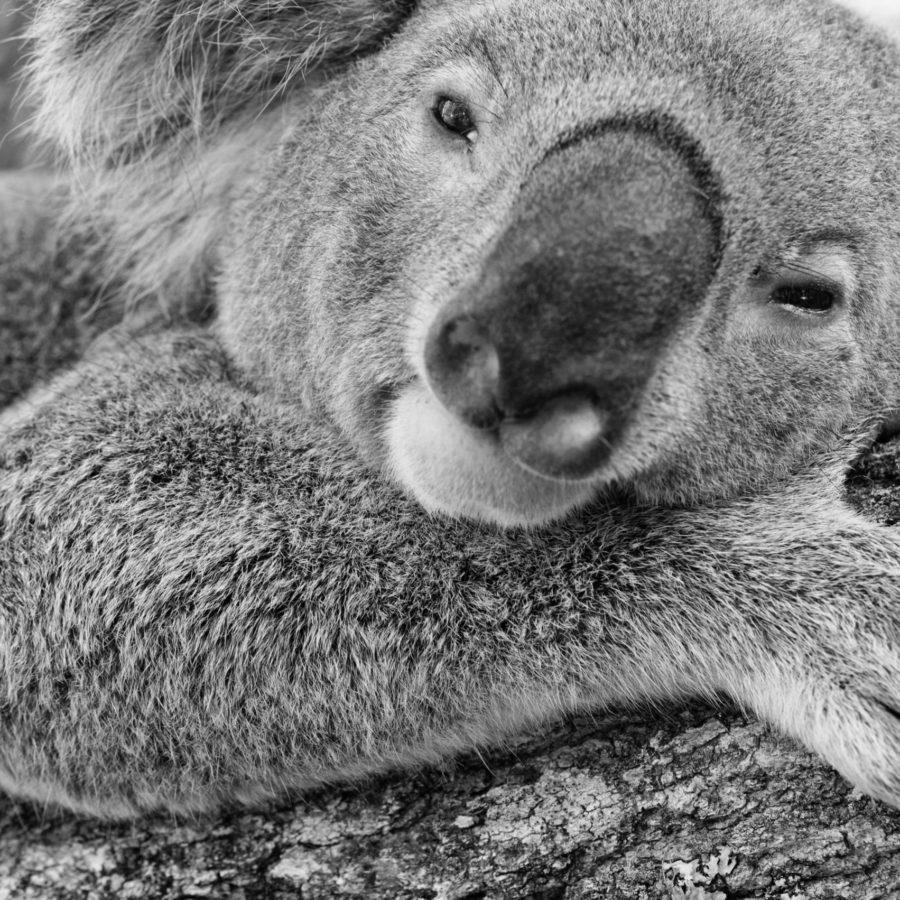 Friends of the Koala Farewell Triumph