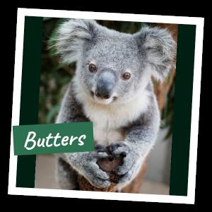 FoK Adopt a Koala - Butters