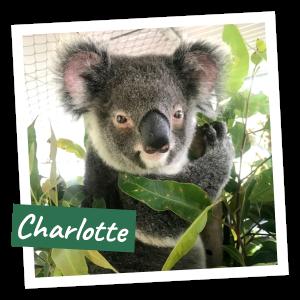 FoK Adopt a Koala - Charlotte