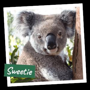 FoK Adopt a Koala - Sweetie