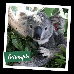 FoK Adopt a Koala - Triumph