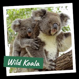 FoK Adopt a Koala - Wild Koala