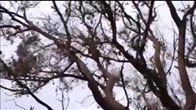 Lucas - Koala release 6/8/16