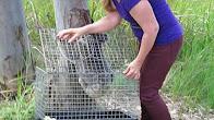 Greta - a wild koala being released