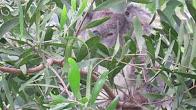 Koala eating sally wattle leaf