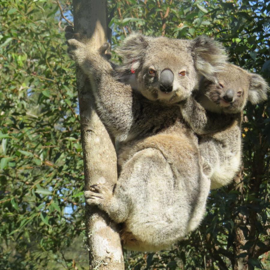 Bushfire survivor koala Ember spotted in the wild with joey